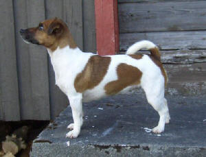 Lågbent Jack Russell Terrier